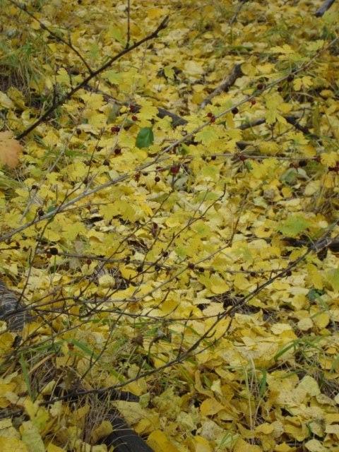 Gooseberry bush hiding in the yellow leaves DSC00238