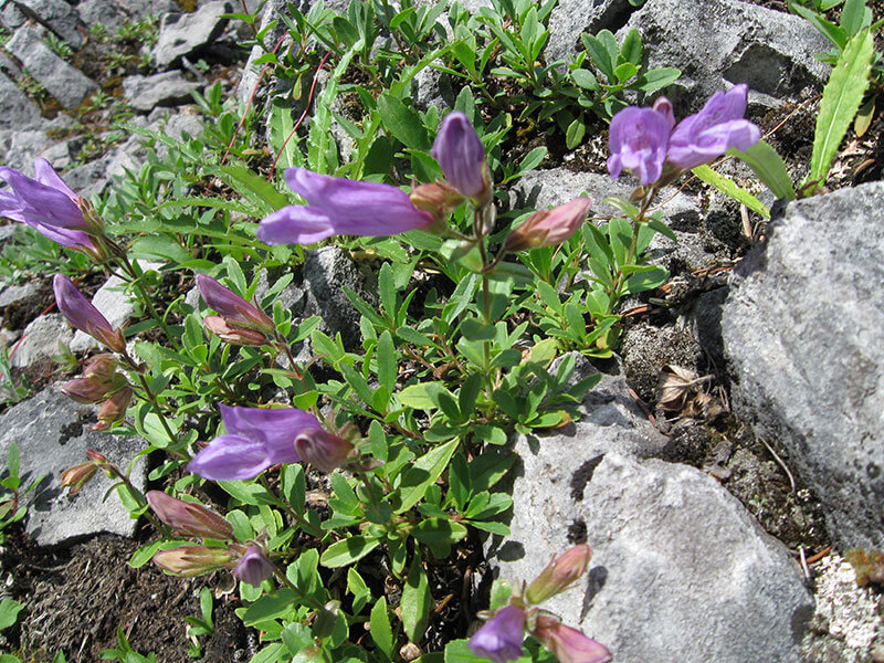Penstomen-in-bloom